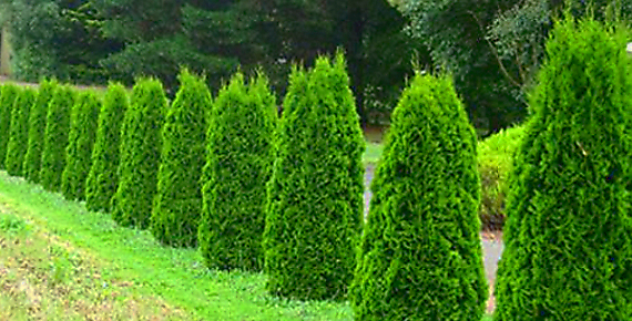 5 ks Thují Smaragd ze Zahradnictví ve Spytihněvi u Zlína